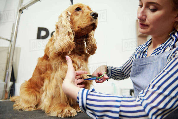 Female groomer trimming cocker spaniel at dog grooming salon Royalty-free stock photo