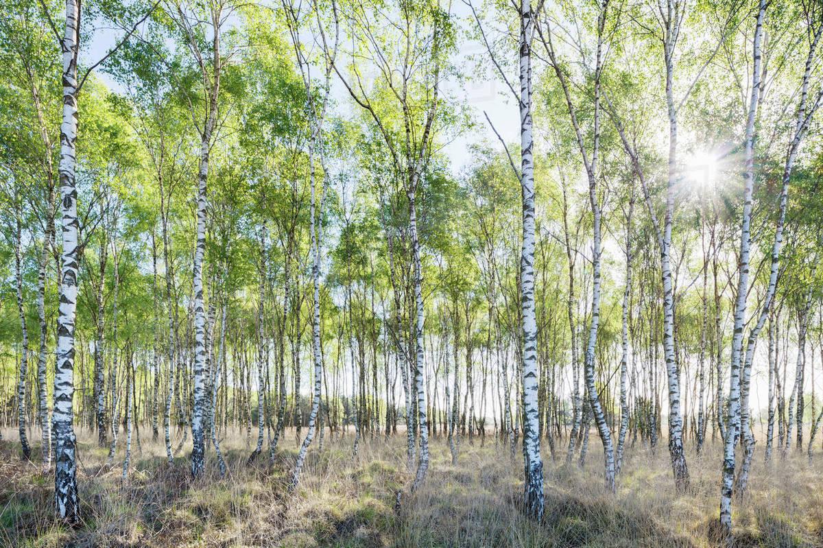 Birch Trees In Spring Morning Sunlight Stock Photo Dissolve