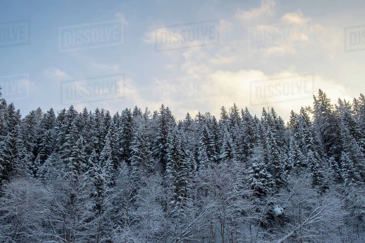 Snow covered hill forest tree tops stock photo