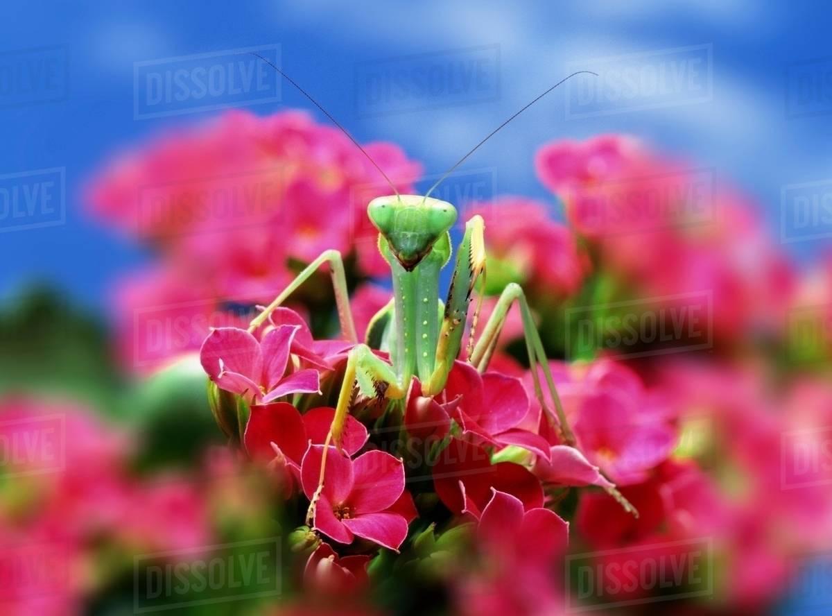 Praying Mantis On Pink Flower Stock Photo Dissolve