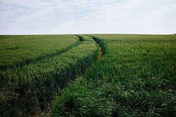 Green cornfield with tracks Royalty-free stock photo