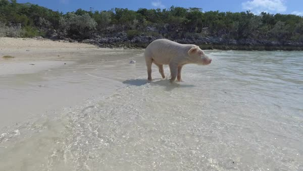 Limping pig walking on a beach Royalty-free stock video