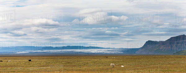 Iceland, panoramic view of sheep grazing in pasture with glacier in background Royalty-free stock photo