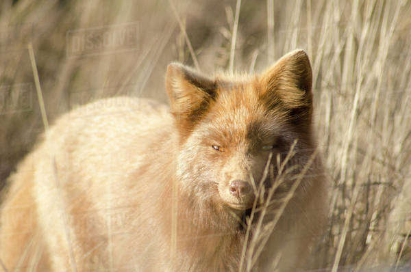Red fox prowling in tall grass Royalty-free stock photo