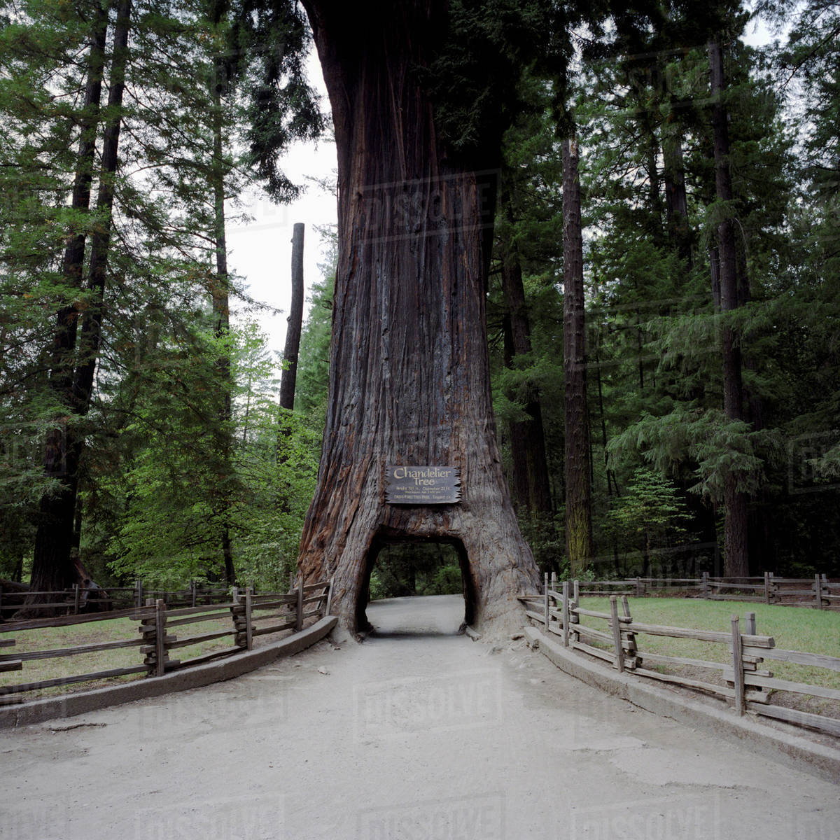 The Chandelier Tree A Redwood Cars Can Drive Through Leggett California Usa
