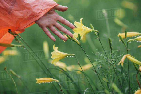 Cropped image of hand touching wet yellow flowers during rainy season Royalty-free stock photo