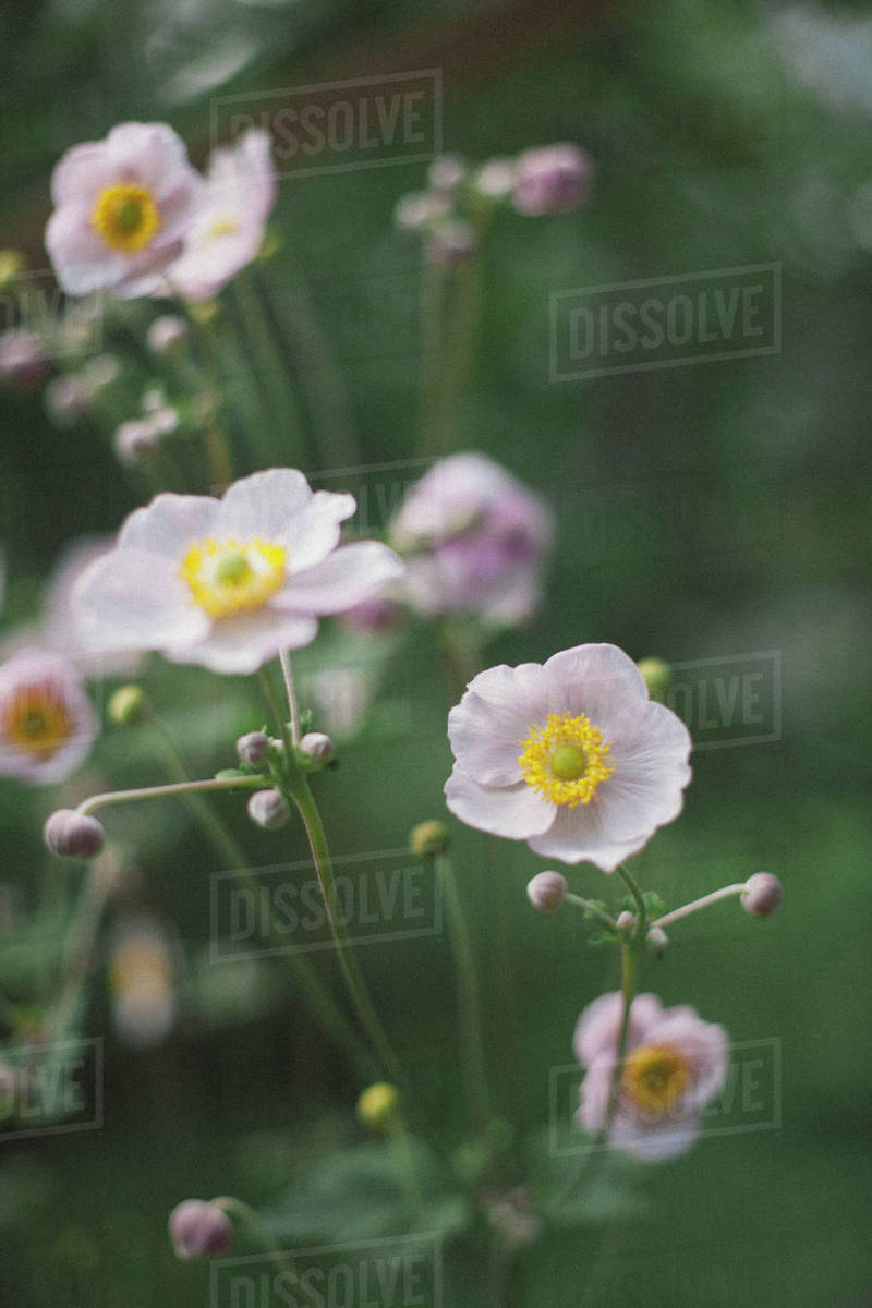 Close Up Of White Poppy Flowers Blooming At Park Stock Photo