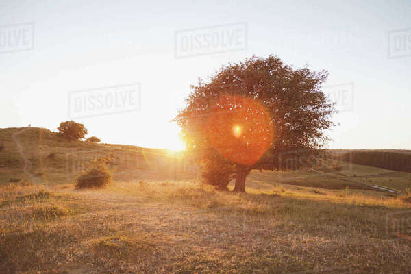 Trees on field against clear sky during sunset Royalty-free stock photo