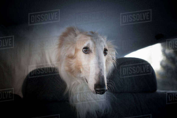 Close-up of Borzoi looking away in car Royalty-free stock photo