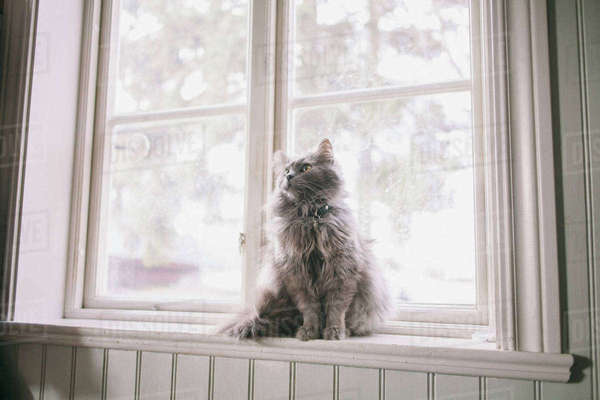 Maine Coon looking away while sitting on window sill Royalty-free stock photo