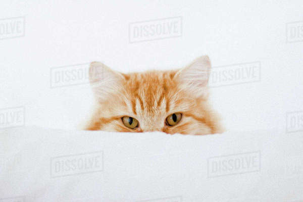 Portrait of ginger cat hiding behind cushion Royalty-free stock photo