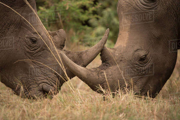 Close-up profile shot of two rhinoceros grazing in field Royalty-free stock photo