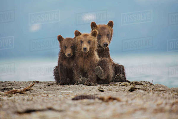 Kamchatka brown bears relaxing on lakeshore, Kurile Lake, Kamchatka Peninsula, Russia Royalty-free stock photo