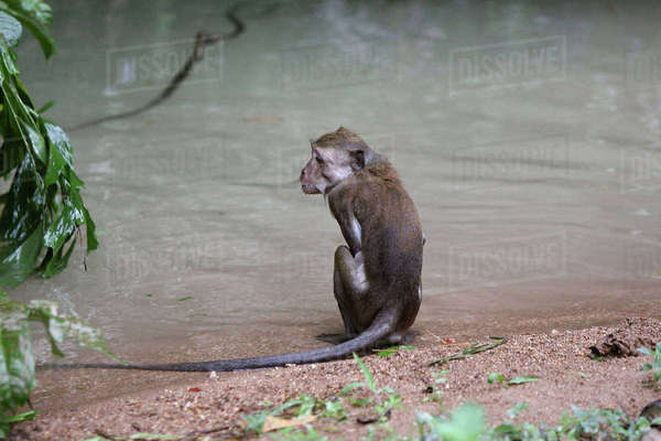 Rear view of monkey relaxing on water shore Royalty-free stock photo