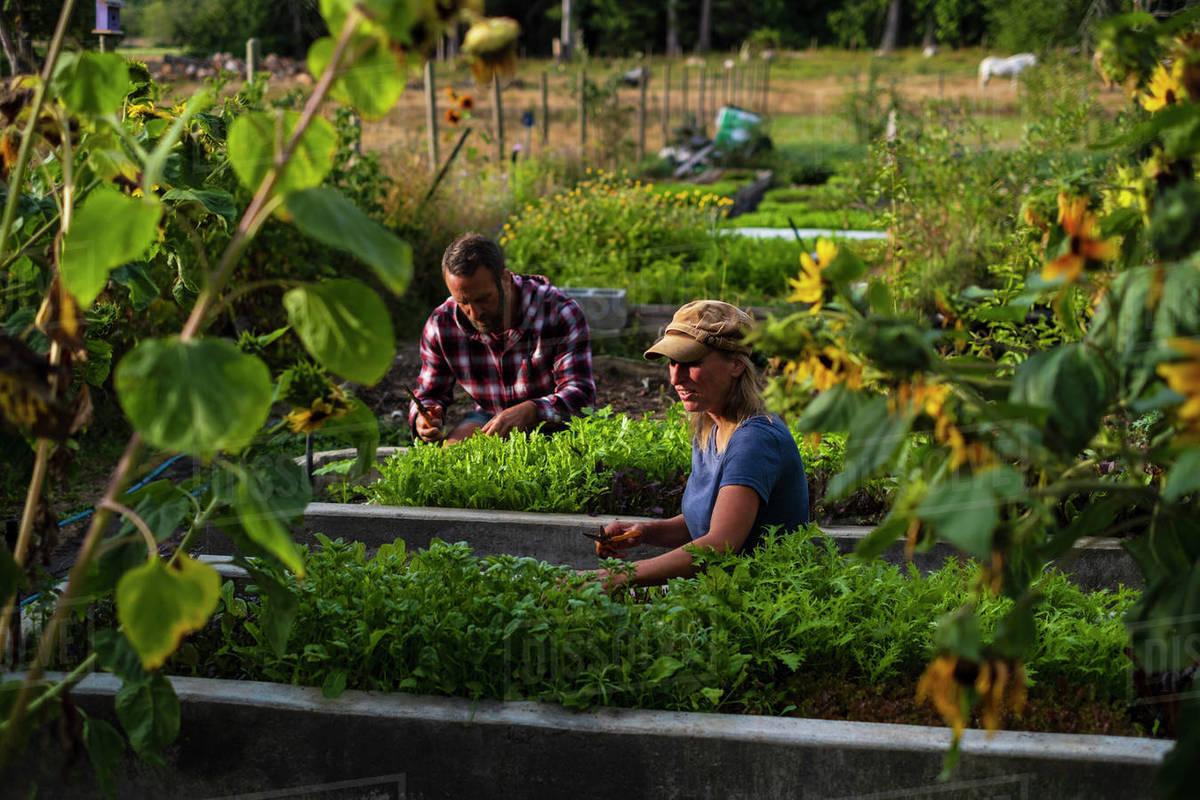 Farmers tending to vegetable garden Royalty-free stock photo