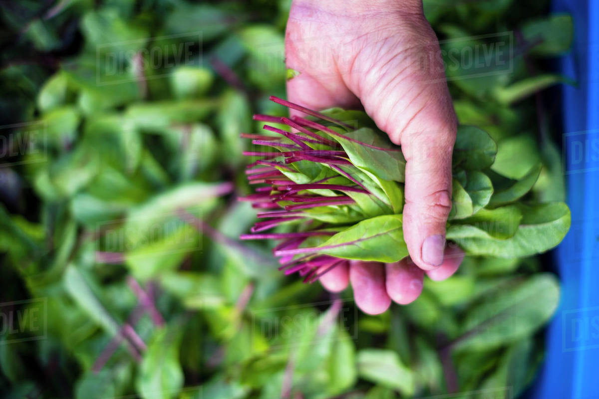 Hand holding fresh harvested red dandelion greens Royalty-free stock photo