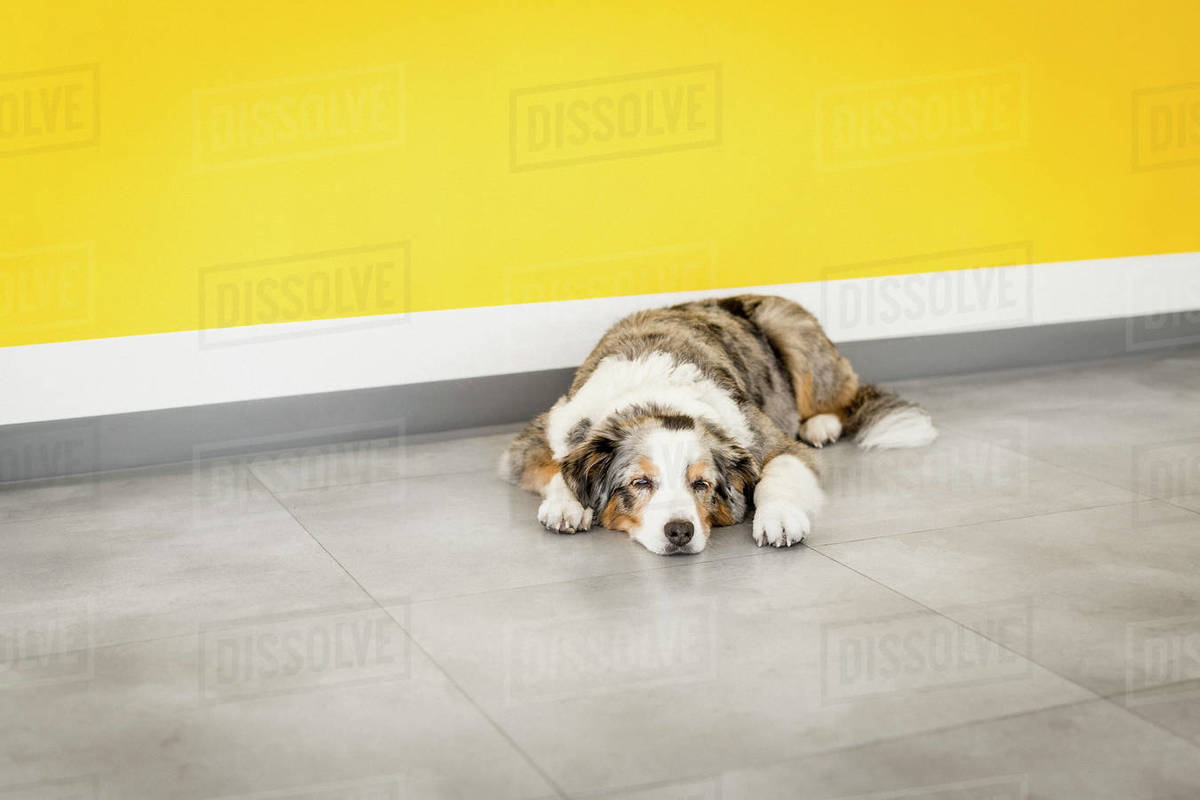 Tired dog sleeping by yellow wall Royalty-free stock photo