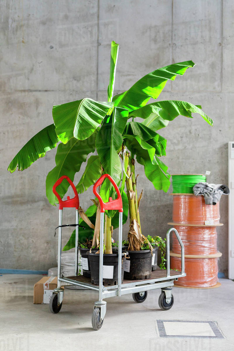 Potted tropical plants on rolling cart at construction site Royalty-free stock photo